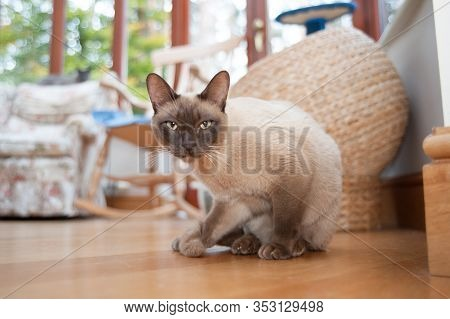 Beautiful Siamese Cat Staring At The Camera In A Homely Interior Room