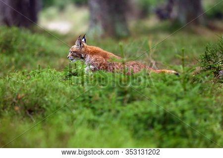 The Eurasian Lynx (lynx Lynx), Also Known As The European Or Siberian Lynx In Autumn Colors. The Kit
