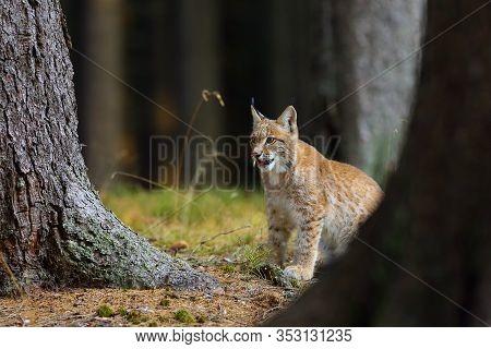 The Eurasian Lynx (lynx Lynx), A Young Lynx In Forest.