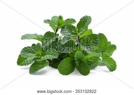 Fresh Peppermint Isolated On White Background. Peppermint Trees For Peppermint Flavor Product