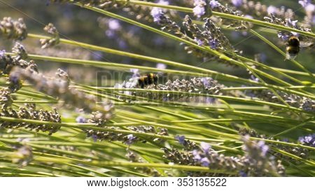 Close Up Of Bumblebees On Lavender Flowers On A Summer Sunny Day, Natural Background. Action. Wild B