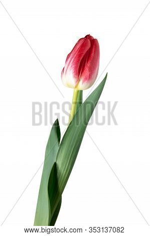 Red. Close Up Of Beautiful Fresh Tulip Isolated On White Background. Copyspace For Your Ad. Organic,