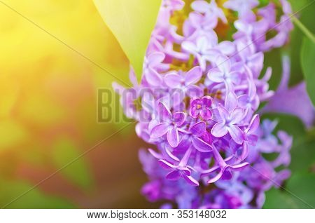 Spring background with spring lilac flowers. Pink lilac flowers in spring bloom - floral spring background with free space for text. Pastel and soft focus processing