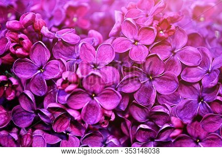 Spring flowers - blooming spring lilac flowers, spring flower background. Spring flower landscape with spring lilac flowers, closeup of spring lilac flowers in the spring garden. Spring flower background, spring flower nature landscape