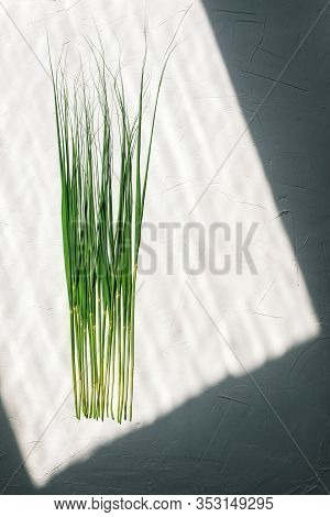 Cane Stalks On A White Background. On The Long Green Stalks Shine The Sun. Shadow And Frame. Dark Fr