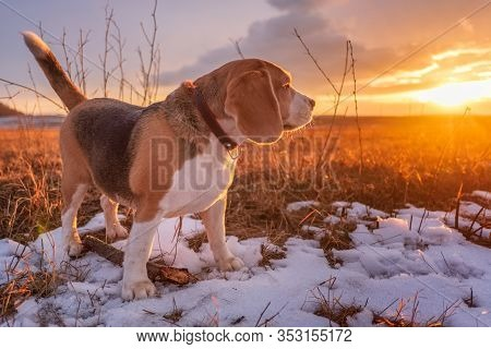 A Beautiful Beagle Dog Looks At The Setting Sun During A Walk On A Spring Evening . Portrait Of A Be