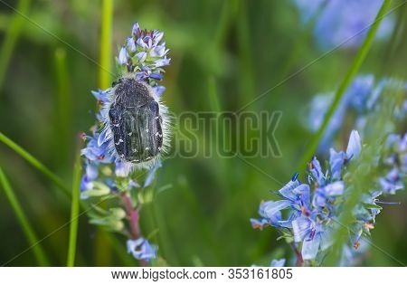 Epicometis Hirta Alleculid Beetle Tropinota Epicometis Hirta Scarabaeidae On Blue Flower Veronica Te