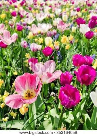 Colorful Mix Of Yellow, Pink And Red Tulips Flower Bed,  Spring Park Garden, Selective Focus.