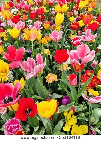 Colorful Mix Of Yellow, Pink And Red Tulips Flower Bed,  Spring Park Garden.