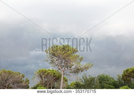 Maritime Pine And The Background Of A Leaden Sky With Many Clouds In The Mediterranean Area