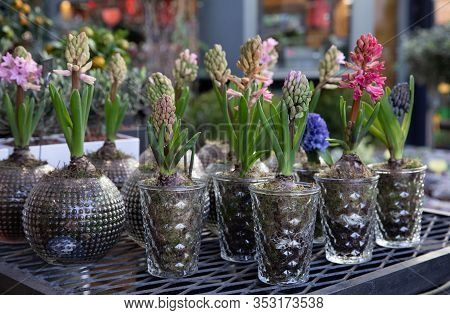 Blooming Hyacinthus Orientalis In Blue And Pink Colors Potted In Transparent Glass Flowerpots At The