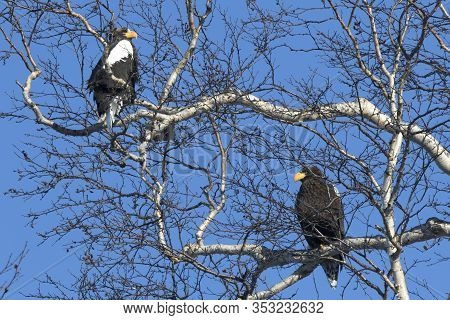 Two Stellers Eagles Sitting On Branches In The Crown Of A Birch