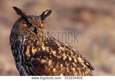 The Eurasian Eagle-owl (bubo Bubo) Portrait With Green And Brown Background.