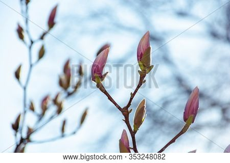 Closed Buds Of Magnolia Tree. Beautiful Nature Scenery In Morning Light. Green And Purple Colors