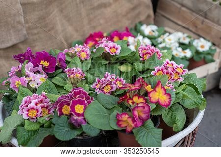 Variety Of Beautiful And Delicate Primroses At Flower Shop. Vernal Seasonal Potted Plants In Baskets