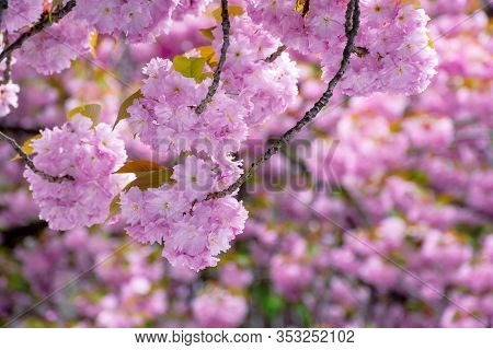 Blossoming Cherry Tree Background. Tender Pink Flowers On The Branches In Spring