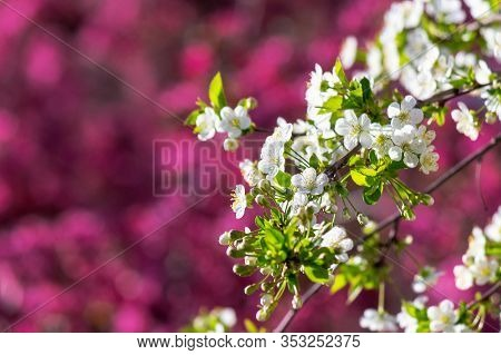 White Apple Blossom On A Magenta Background. Tender Flowers On The Branches In Spring. Warm Sunny We