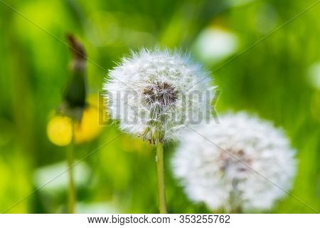 White Puffy Dandelions In The Tall Green Grass. Beautiful Nature Background