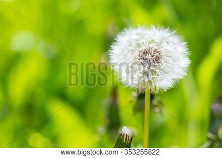 White Fluffy Dandelion In The Tall Green Grass. Wonderful Nature Background