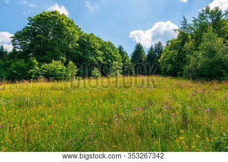 Grassy Meadow With Wild Herbs In Summer. Primeval Beech Forest Around The Glade. Sunny Summer Weathe