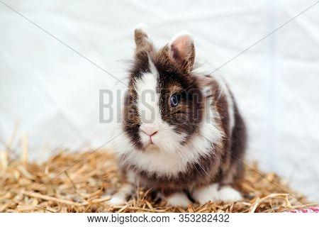 Easter Dwarf Decorative Fluffy Rabbit. Fluffy Home Pet On A Walk. Symbol Of Easter. Small Fluffy Bun