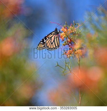 Monarch Butterfly, Danaus Plexippus, Family Nymphalidae, Feeding On A Red Australian Native Greville