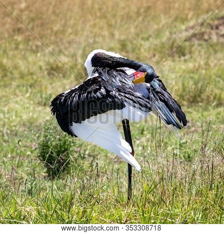 Female saddle-billed stork, ephippiorhynchus senegalensis, preening and grooming her plumage in the Masai Mara, Kenya.