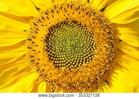 Ray And Disc Florets Of Sunflower Close-up
