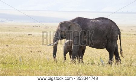 Mother and baby African elephants, Loxodonta Africana, in the grasslands of the Masi Mara, Kenya. White cattle egrets can be seen in the grass around them.
