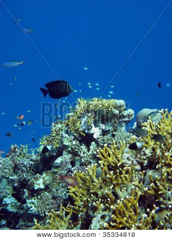 coral reef with exotic fishes on the bottom of red sea poster