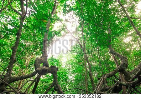 Mangrove Is Tropical Trees And Woody Plants With Countless Prop Roots That Thrive To Form Dense Thic