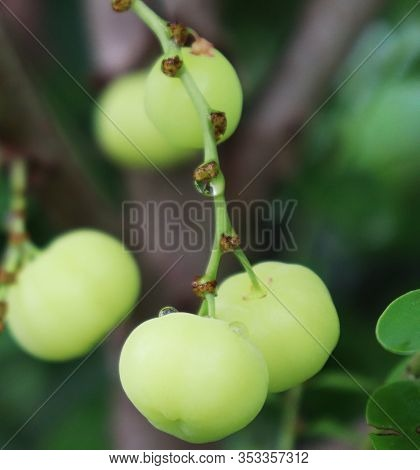Phyllanthus Acidus Fruit On The Tree. Otaheite Gooseberry Fruit