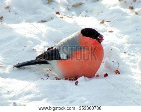 An Ordinary Red Bullfinch Eats Berries On Pure Winter Snow. The Male Bullfinch Eats Rowan Berries On