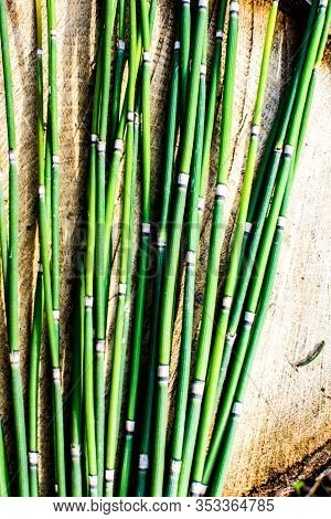 Scouring Rush Horsetail Or Equisetum Hyemale Is A Grass-like Bamboo Plant, Used For Ornamental Plant