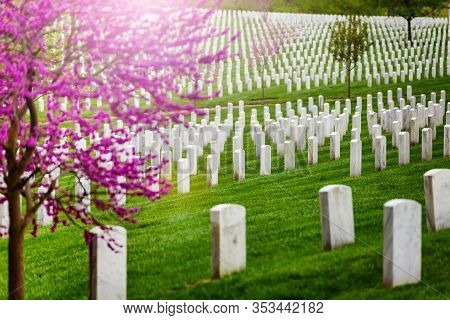 Many Tombs In Rows, Graves On Military Arlington Cemetery And Blooming Spring Cherry Tree With Flowe