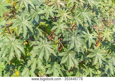 A Green Texture Of Ricinus Communis Or Castor Bean Or Castor Oil Plant Bush Branches With Leaves We
