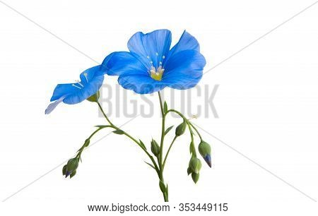Blue Flax Flower Isolated On White Background