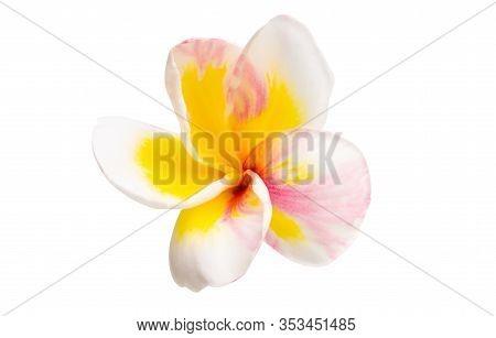 Frangipani Subtropical Flower Isolated On White Background