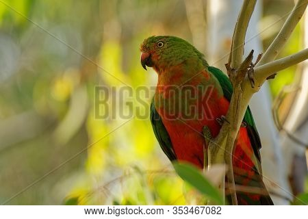 Australian King Parrot - Alisterus Scapularis  Green And Red Bird Endemic To Eastern Australia, In H