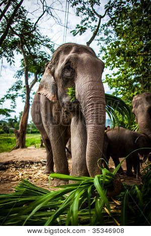 Elephant with sugarcane in its mouth eating off the ground