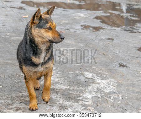 Cute Young Dog Among The Slush And Puddles