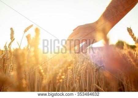Wheat Sprouts In A Farmers Hand.farmer Walking Through Field Checking Wheat Crop