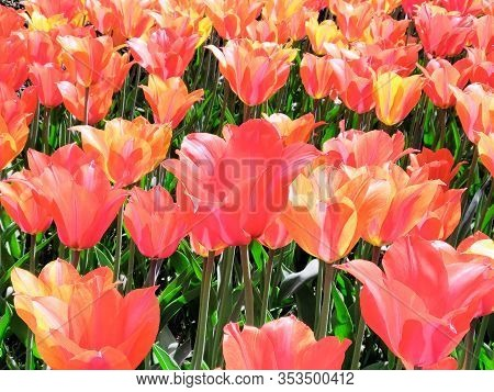 Colorful Bright Red With Yellow  Tulips Flowers Field, Natural Spring Background.