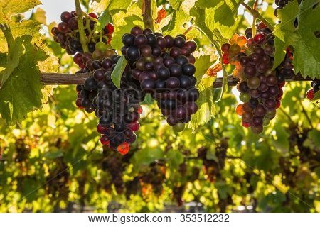 Bunches Of Pinot Noir Grapes At Harvest Time In Organic Vineyard
