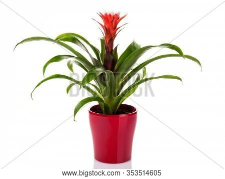 Potted red Guzmania Bromeliad in flower pot isolated on white background