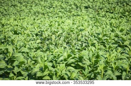 Tobacco Leaves Plantation In The Tobacco Field Background / Young And Green Tobacco Leaf Plant Growi