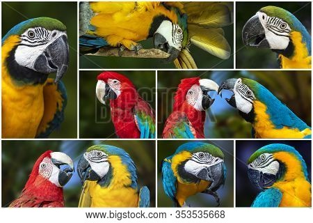 Collage - Set Of Parrot Blue And Red Macaw