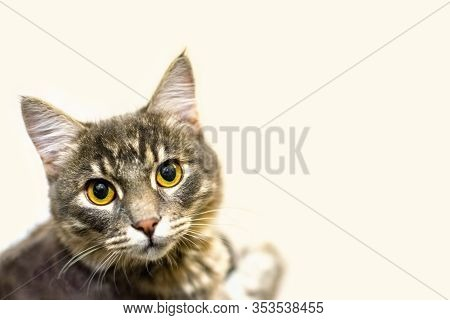 A Young Domestic Gray Cat Or Kitty With Big Beautiful Eyes Lies And Looks At The Camera. Veterinary