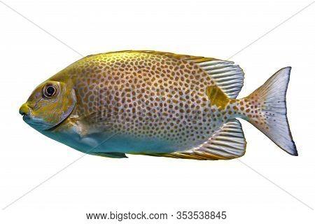 Yellow  Spot  Rabbitfish Siganus Guttatus - Tropical Sea Fish Isolated On White Background.