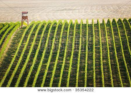 Overview Of Vineyard In Palava, Czech Republic